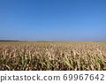 Corn field with blue sky. Yellow old corn plants and blue clean sky 69967642