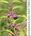 "Bright purple ""Murasakikibu"" fruit 69973881"