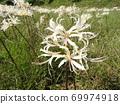 Higa bana flowers 69974918