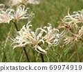 Higa bana flowers 69974919