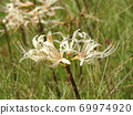 Higa bana flowers 69974920
