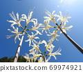 Higa bana flowers 69974921
