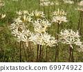 Higa bana flowers 69974922