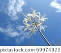 Higa bana flowers 69974923