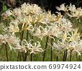 Higa bana flowers 69974924