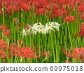 Higa bana flowers 69975018