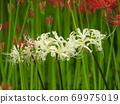Higa bana flowers 69975019