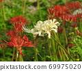 Higa bana flowers 69975020