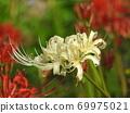Higa bana flowers 69975021