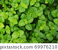 pilea nummulariifolia,Creeping Charlie, Green leaf background 69976210