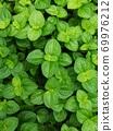 pilea nummulariifolia,Creeping Charlie, Green leaf background 69976212