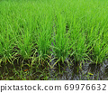 Green rice field, Asia, Thailand, background 69976632