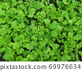 Organic leaf lettuce in the garden, Salad greens top view, Green natural background 69976634