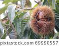 板栗樹栗子水果了 69990557