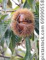 板栗樹栗子水果了 69990558