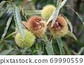 板栗樹栗子水果了 69990559
