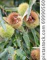 板栗樹栗子水果了 69990560