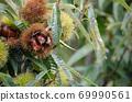 板栗樹栗子水果了 69990561