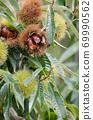 板栗樹栗子水果了 69990562