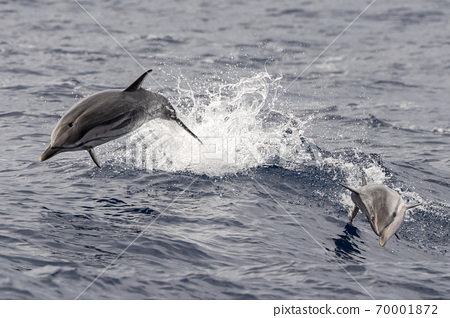 baby newborn Dolphin while jumping outside the sea with mother 70001872