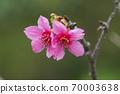 公司園區,山櫻花,粉紅色,台灣,台中,大渡,花蕊,花 70003638