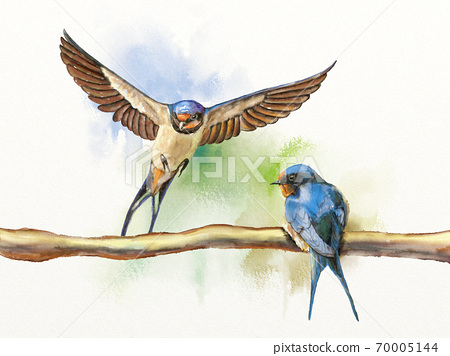 Two barn swallows 70005144