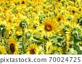 Sunflower field Hokkaido 70024725