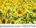Sunflower field Hokkaido 70024726