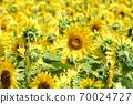 Sunflower field Hokkaido 70024727