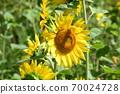 Sunflower field Hokkaido 70024728
