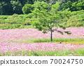 Cosmos field Hokkaido 70024750