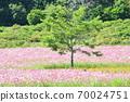 Cosmos field Hokkaido 70024751