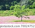 Cosmos field Hokkaido 70024752