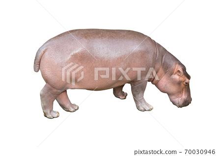 Hippopotamus isolated on white background. 70030946