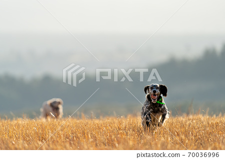 Pointer pedigree dogs running with gps radio, front view 70036996