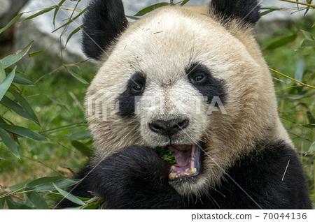 giant panda while eating bamboo 70044136