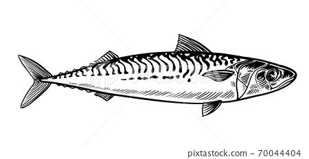 Mackerel sketch vector 70044404