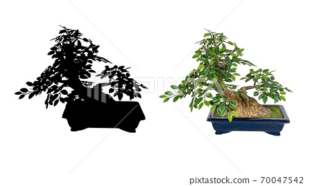 Bonsai tree isolated on a white background. The Japanese art 70047542