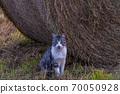 一隻貓站在北海道牧場上的草卷上 70050928