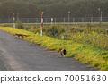 一隻貓沿著北海道的一條農場之路往狐狸走 70051630