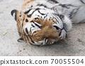 阿穆尔虎睡觉的脸 70055504