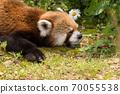 小熊猫小睡 70055538
