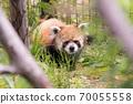 小熊猫盯着我 70055558