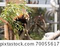 小熊猫爬树 70055617