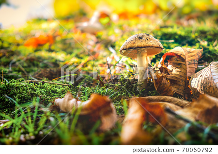 a single not edible mushroom in colorful spring forest background 70060792