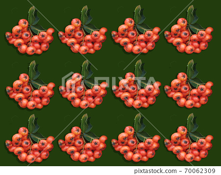 evergreen hedge with pyracantha hedge berries 70062309