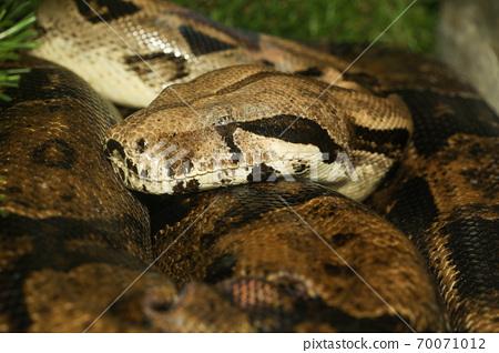 Macro head boa constrictor snake 70071012