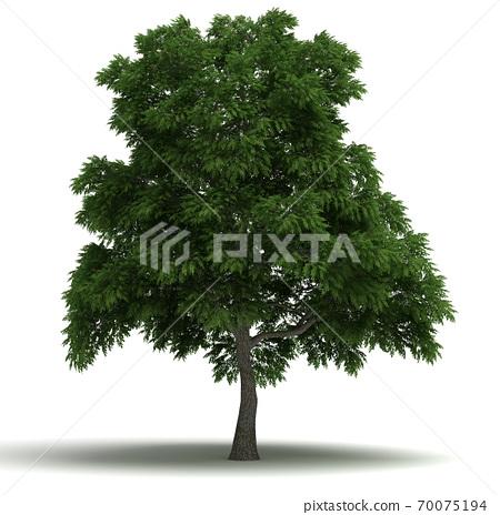 Sassafras Tree 70075194