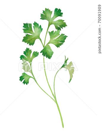 草藥:意大利歐芹的水彩插圖。托雷斯矢量。 70091989
