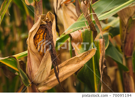 Corn in cob in field. Brown and green leaves, Autumn time. 70095194